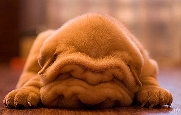 cachorro-fofo-3
